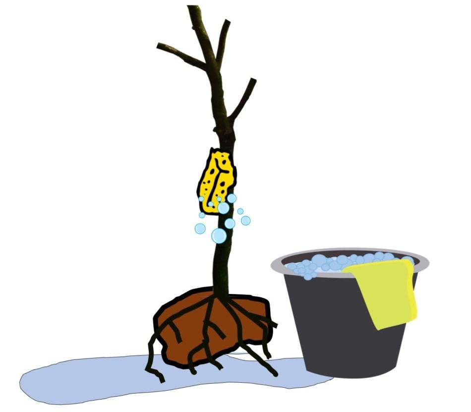 Lavez la plante fortement rabattue à l'eau savonneuse.