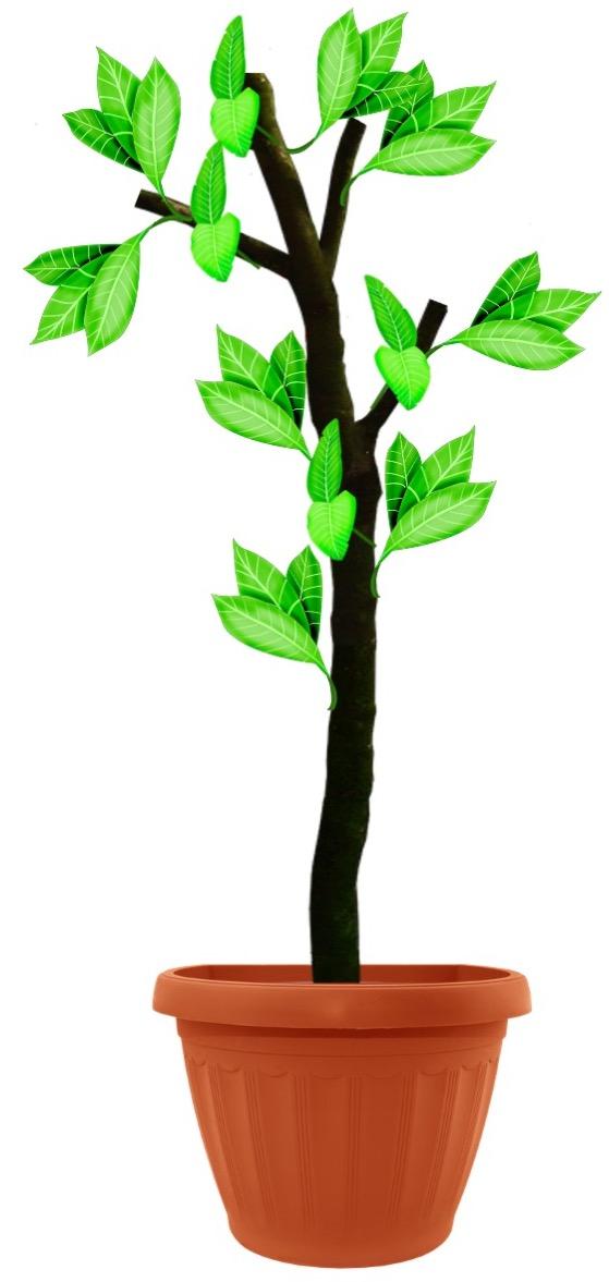 Illustration d'un arbre d'intérieur en pot coupé sévèrement et avec maintenant de nouvelles feuilles qui repoussent.