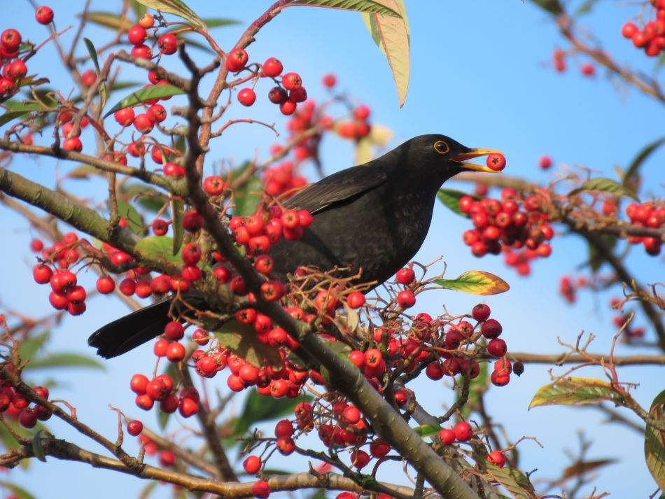 Oiseaux mangeant petits fruits.