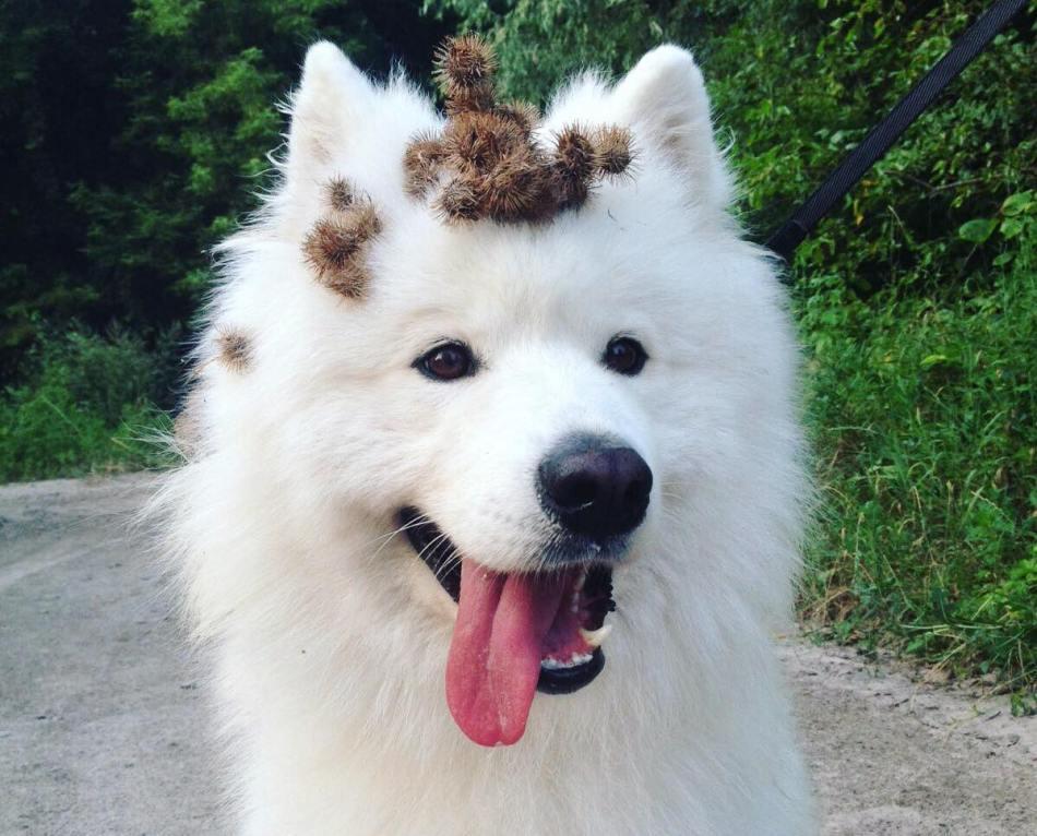 Chien blanc avec bardanes sur la tête.
