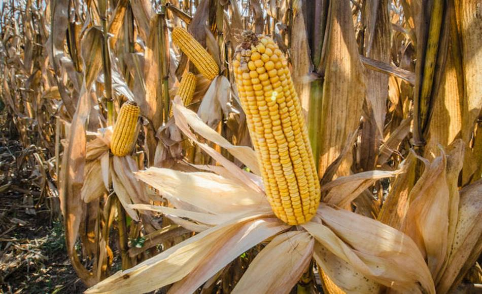 Épi de maïs grand ouvert, exposant les grains.