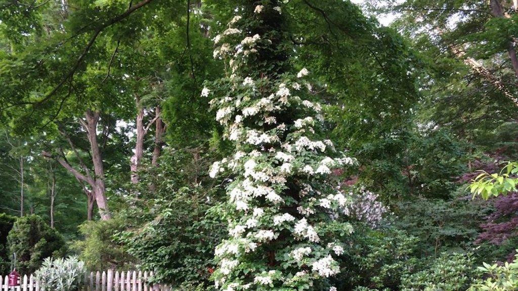 Hydrangée grimpante qui monte dans un arbre, fleurs blanches.