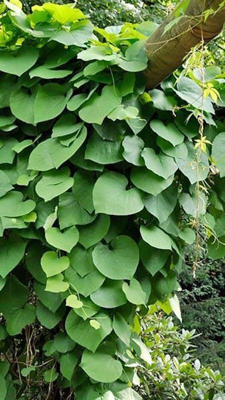 Aristoloche siphon aux feuilles cordiformes qui monte dans un arbre.