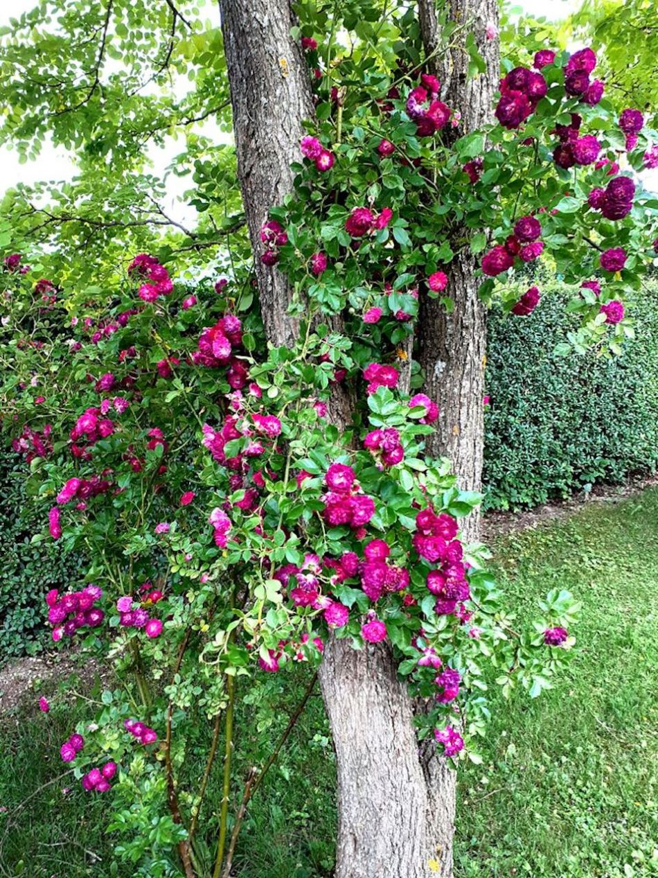 Rosa 'Blue Magenta' grimpant dans un arbres.