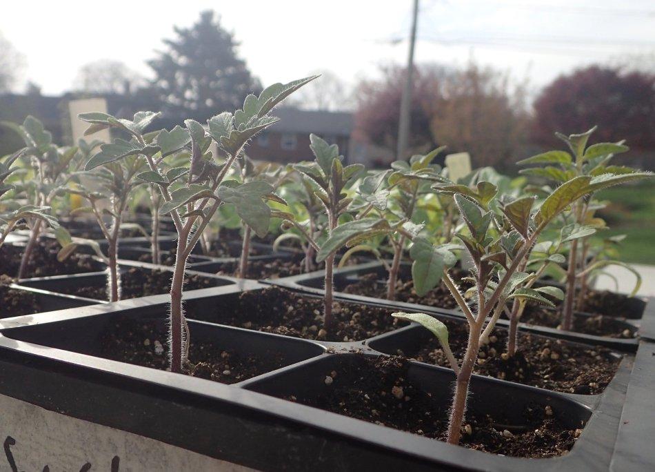 Semis de tomate en alvéoles.