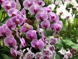 Mélange de phalaenopsis de couleurs différentes.