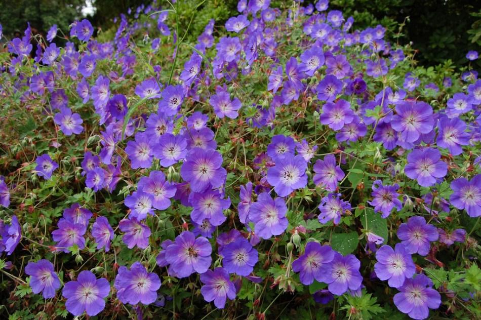 Le géranium Rozanne fleurit tout l'été et jusqu'en automne avec des fleurs violettes.