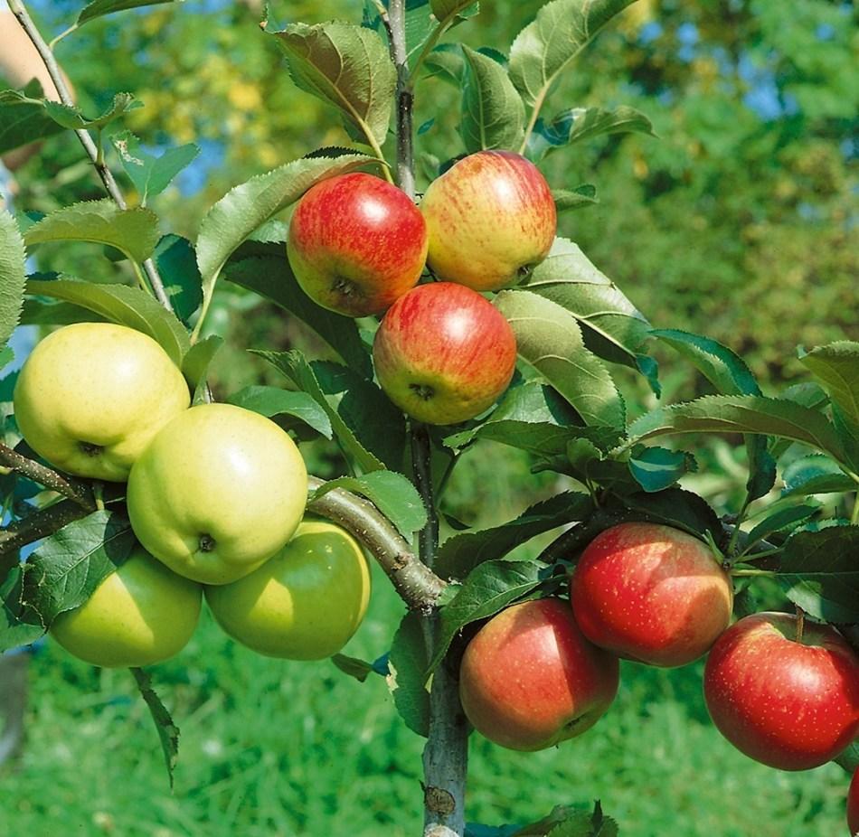 Pommier avec trois variétés greffées sur le même arbre.