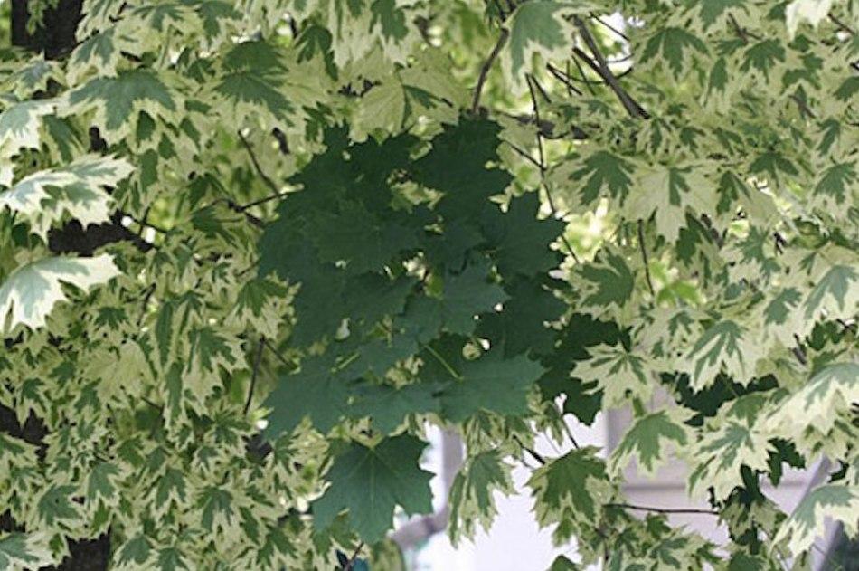 Érable arlequin avec feuilles bicolores. Une branche est une réversion à feuillage vert.