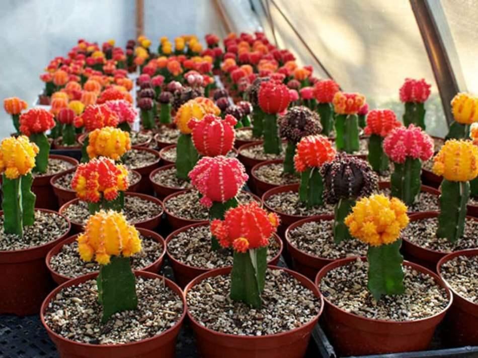 Plusieurs cactus boule rouge en pot, tous greffés sur un cactus vert.