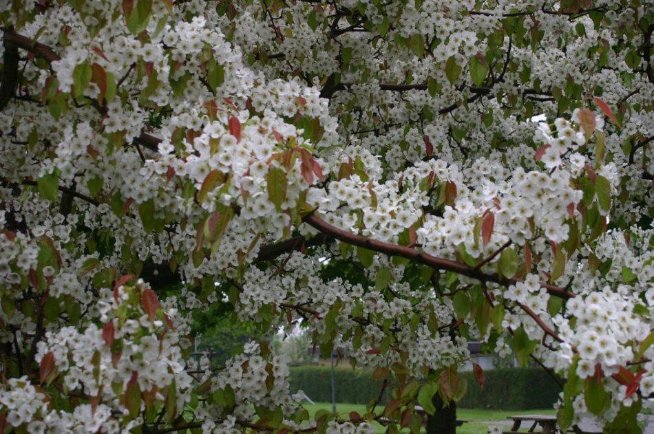 Branches de poirier de Mandchourie couvertes de fleurs.