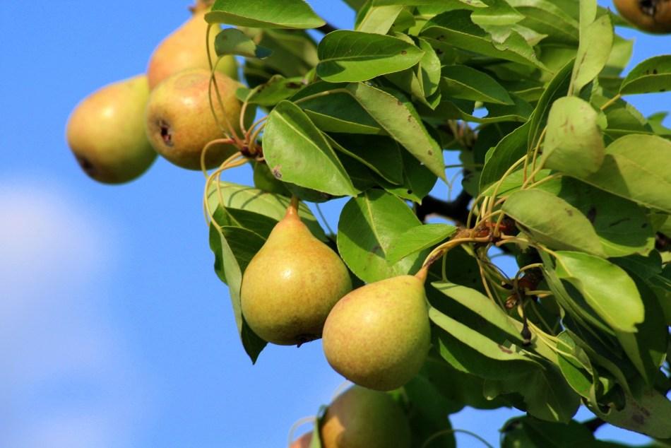 Poirier hybrid 'Ure' avec fruits jaunes mûrs.
