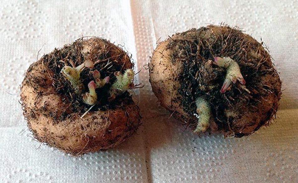 Deux tubercules de gloxinia des fleuristes avec des pousses.