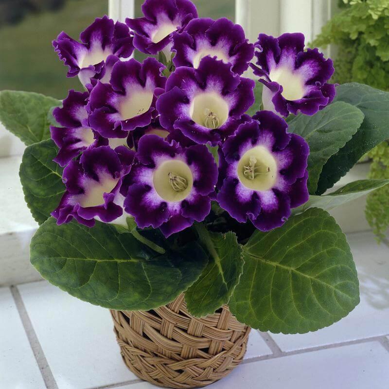Gloxinia des fleuristes dans un pot en osier.