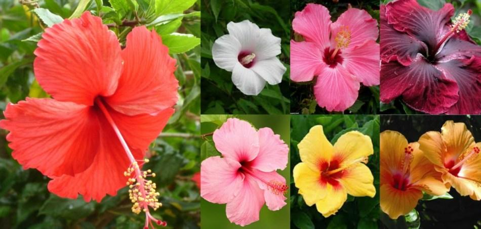 Différentes couleurs d'hibiscus rose de Chine.