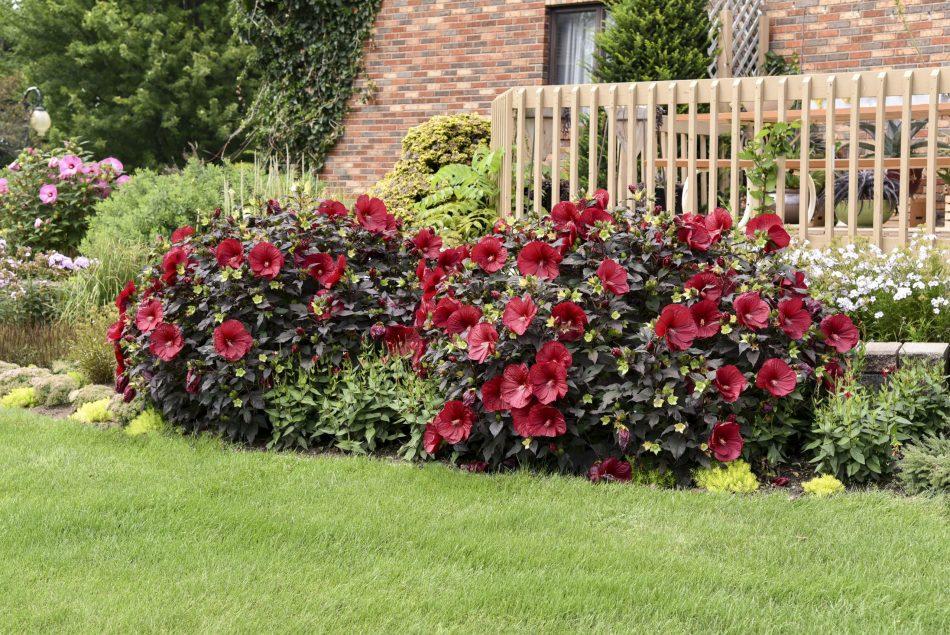 Hibiscus vivace Summerific 'Holy Grail' avec des fleurs rouges et un feuillage pourpre foncé.