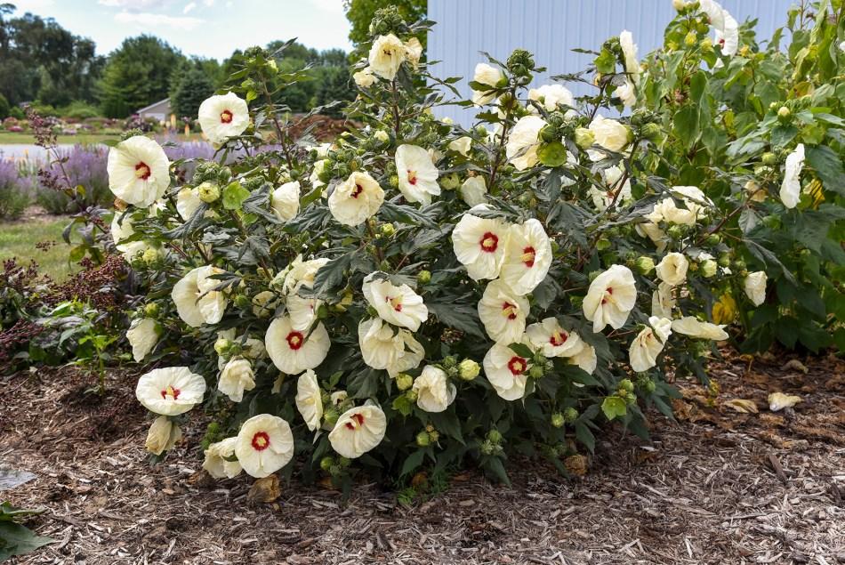 Hibiscus vivace Summerific@ 'French Vanilla' avec des fleurs jaune pâle à œil rouge