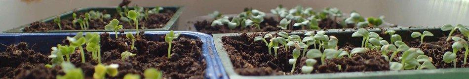 Germination de semis dans des plateaux.