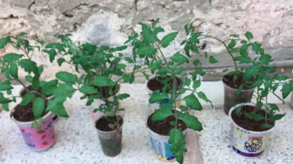 Acclimatisation de tomates aux conditions de plein air.