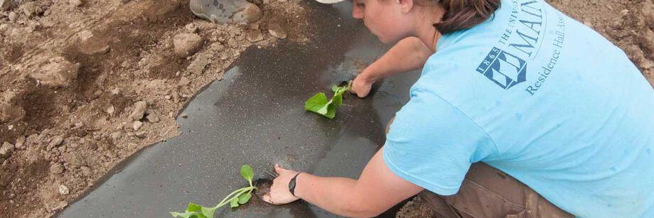 Paillis de plastique noir utilisé pour réchauffer le sol.
