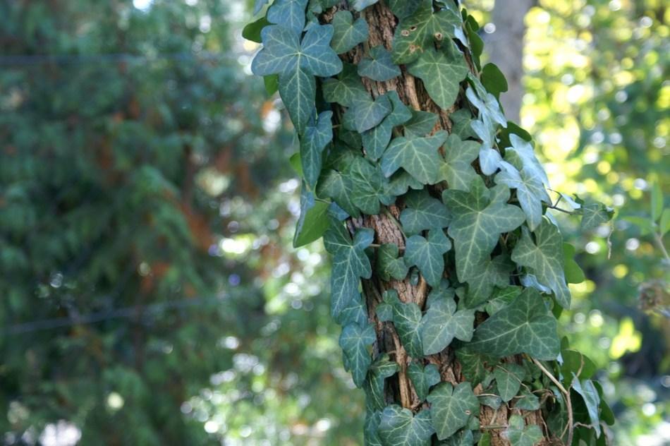 Lierre commun grimpant sur un tronc d'arbre.