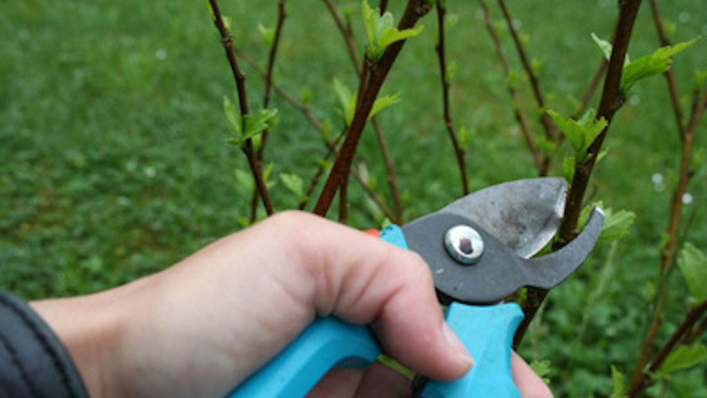 Taille d'un arbuste avec un sécateur