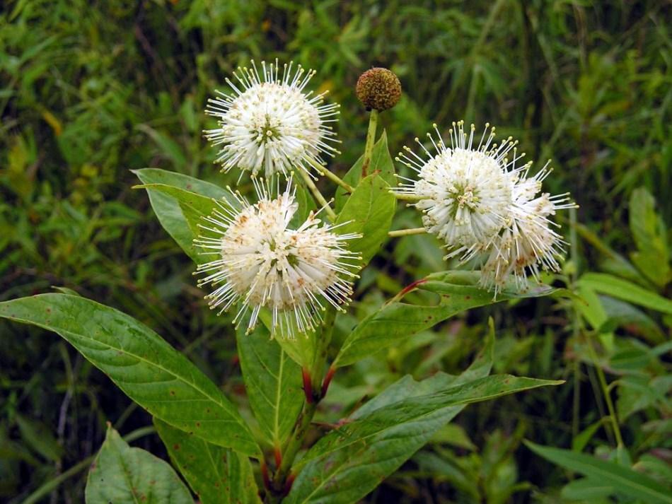 Fleurs de l'arbuste appelé Cephalanthus occidentalis