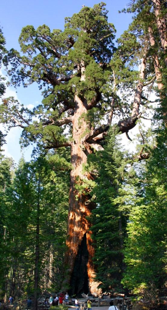 Séquoia géant dans le Mariposa Grove du parc national de Yosemite.