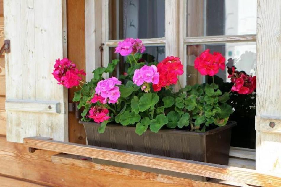 Boîte à fleurs avec pélargoniums.
