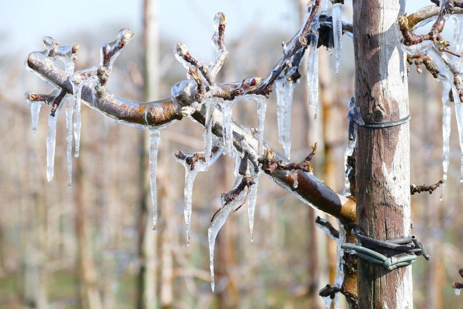 Pommiers aux boutons couverts de glace.