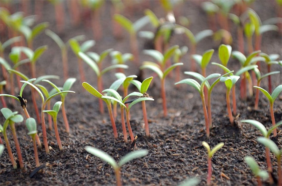 Jeunes semis de bette à carde