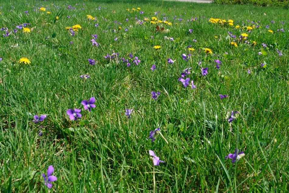Pelouse avec violettes et pissenlits