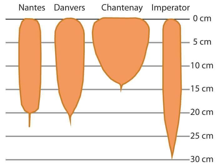 Tableau montrant la forme et les dimensions de 4 types de carotte.