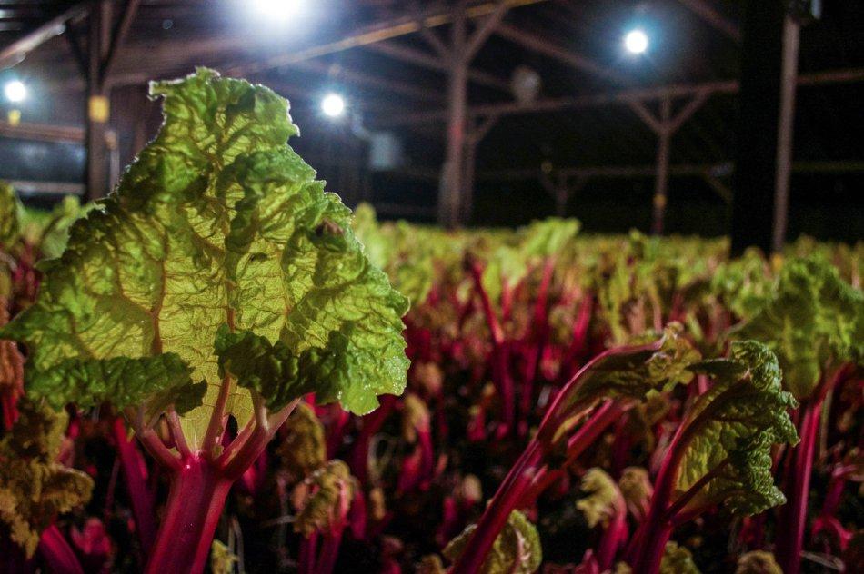 Rhubarbe forcée, cultivée à la noirceur.