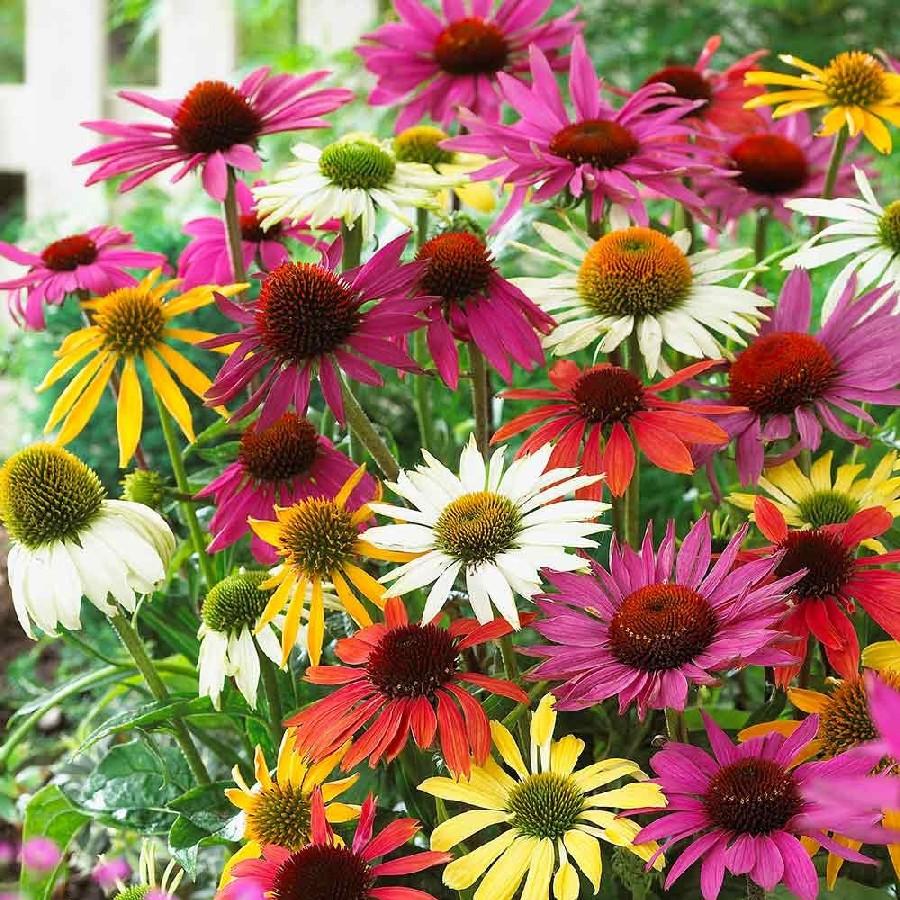 Échinacées de différentes couleurs de rose, orange, jaune et blanc.
