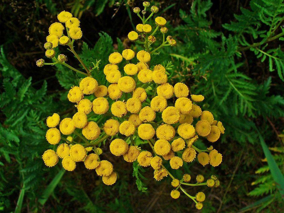 Fleurs jaunes et feuilles de tanaisie.