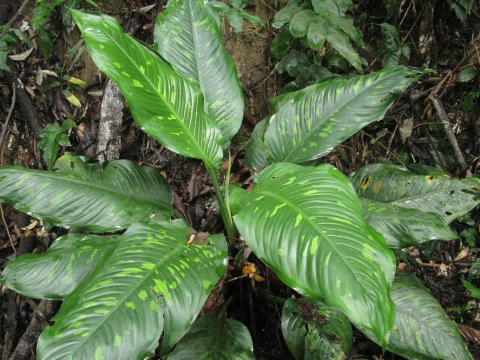 Un dieffenbachia dans la jungle.