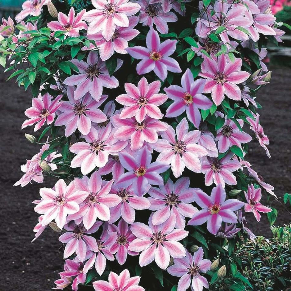 Clematis 'Elsa Spath', fleurs roses bicolores.