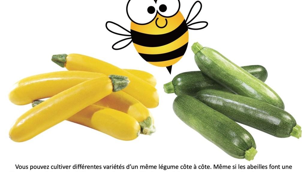 Courgettes jaunes et courgettes vertes avec une abeille pollinisatrice entre elles.