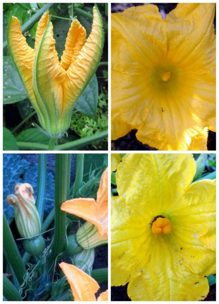Fleurs de courge mâles et femelles.