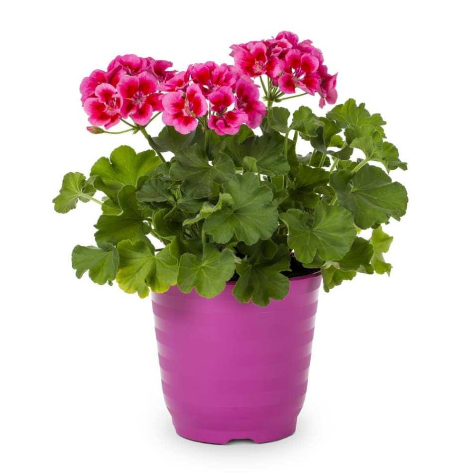 Pelargonium zonal dans un pot rose.