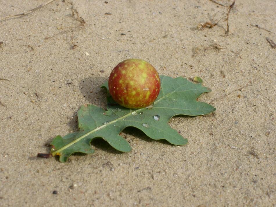 Pomme de chêne à l'envers d'une feuille de chêne.