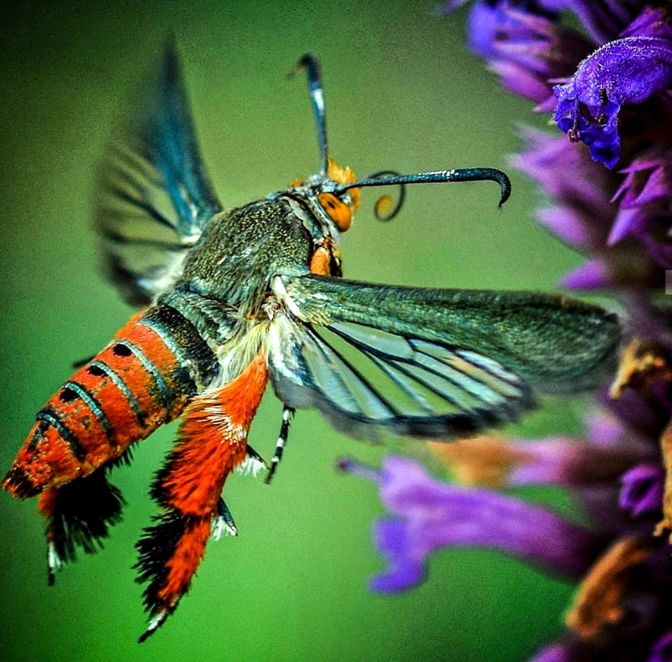 Le perceur de la courge adulte se nourrissant de nectar de fleurs.
