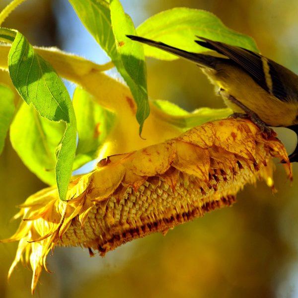 Oiseau mangeant des graines de tournesol directement de la fleur.
