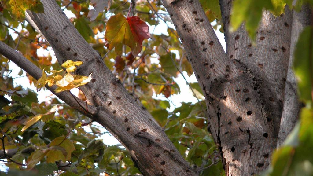 Trous percés dans les branches d'un arbre par le longicorne asiatique.