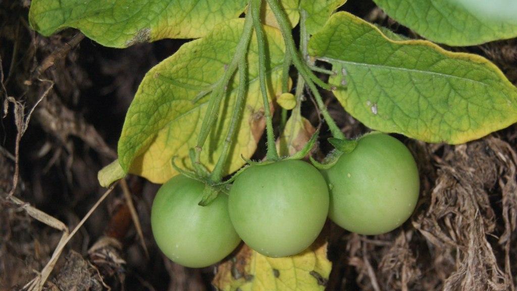 Fruits verts de pomme de terre