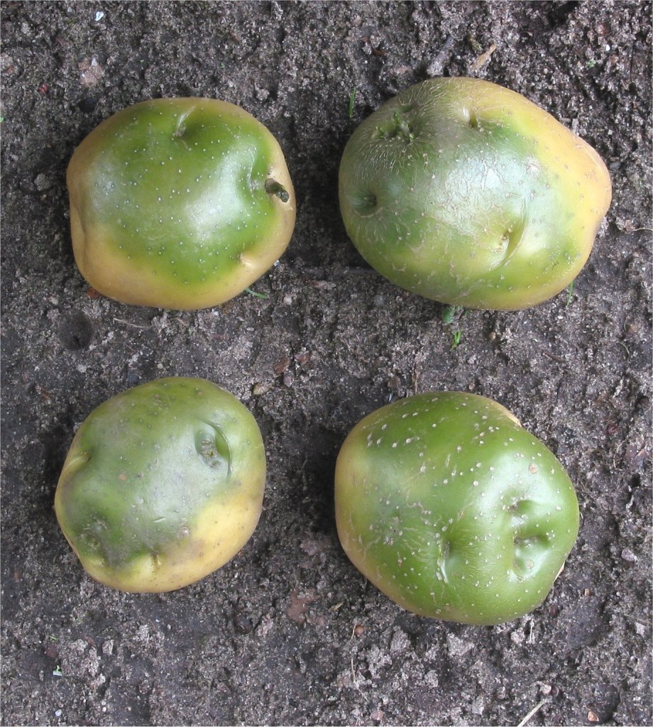 Pommes de terre vertes.