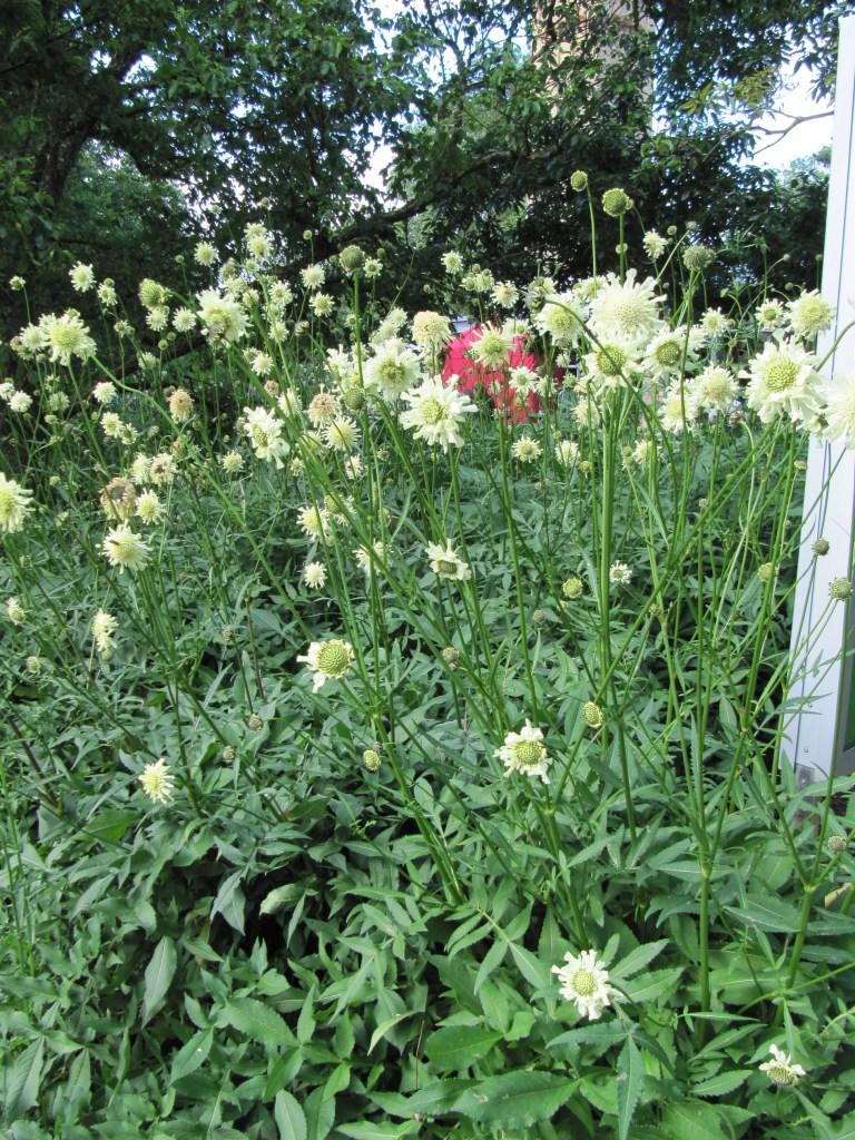Plusieurs plantes de céphalaire géante avec fleurs jaune pâle.
