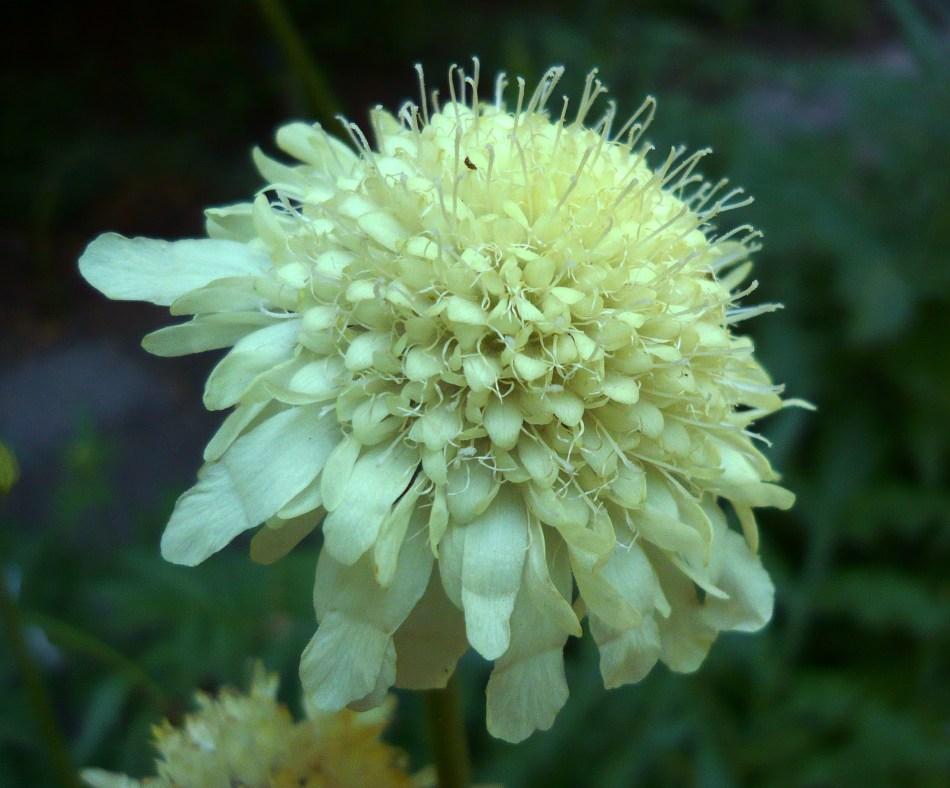 Fleur de céphalaire géante en