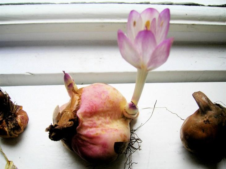 Bulbe de colchique qui fleurit sur un rebord de fenêtre